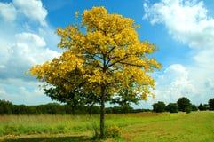 Árbol amarillo Foto de archivo libre de regalías
