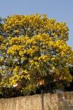 Árbol amarillo de Lapacho Fotos de archivo libres de regalías