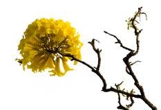 Árbol amarillo del algodón de América media Fotografía de archivo