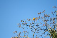 Árbol amarillo del algodón de seda en el cielo azul vivo, regium de Cochlospermum fotografía de archivo
