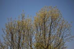 Árbol amarillo del flor Imágenes de archivo libres de regalías