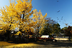 árbol amarillo del ginkgo en el templo de Toji, Kyoto Fotos de archivo