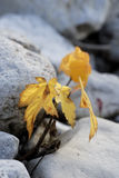 Árbol amarillo del otoño Imágenes de archivo libres de regalías