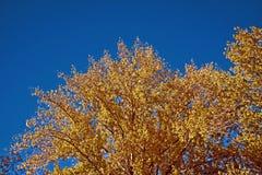 Árbol amarillo del otoño contra el cielo Fotos de archivo