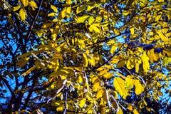 Árbol amarillo del otoño contra el cielo Imagenes de archivo