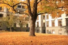 Árbol amarillo del otoño en mi jardín 2 imagen de archivo libre de regalías