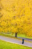 Árbol amarillo del otoño, follaje amarillo del otoño con los pares que caminan debajo Fotos de archivo libres de regalías