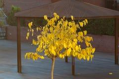 Árbol amarillo en un parque de madera en la tarde fotos de archivo