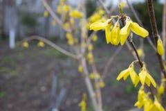 Árbol amarillo floreciente de la primavera Primer en revestimiento de la luz del día foto de archivo libre de regalías