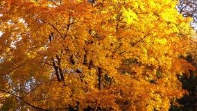 Árbol amarillo hermoso del otoño almacen de metraje de vídeo