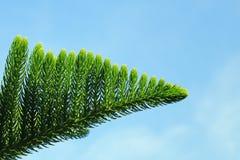 Árbol americana del agavo Foto de archivo