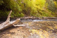 Árbol americano del barranco de la bifurcación Foto de archivo libre de regalías