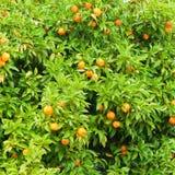 Árbol anaranjado Imagen de archivo