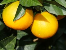 Árbol anaranjado Fotografía de archivo