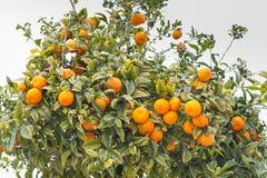 Árbol anaranjado foto de archivo
