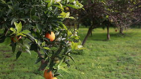 Árbol anaranjado metrajes