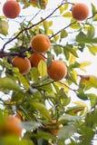 Árbol anaranjado Foto de archivo libre de regalías