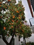 Árbol anaranjado Imágenes de archivo libres de regalías