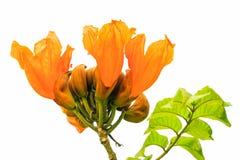 Árbol anaranjado aislado de Bell de fuego Imagenes de archivo