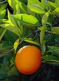 Árbol anaranjado con el crecimiento anaranjado imagen de archivo