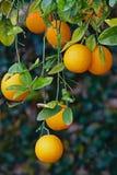 Árbol anaranjado con el crecimiento de las naranjas imagen de archivo libre de regalías