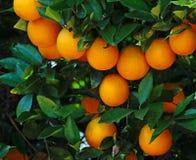 Árbol anaranjado con el crecimiento de las naranjas imagenes de archivo