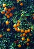 Árbol anaranjado con el crecimiento de las naranjas imagen de archivo