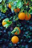 Árbol anaranjado con el crecimiento de las naranjas foto de archivo