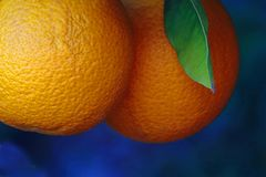 Árbol anaranjado con el crecimiento de las naranjas fotos de archivo