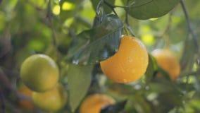 Árbol anaranjado con las frutas jugosas y maduras almacen de metraje de vídeo
