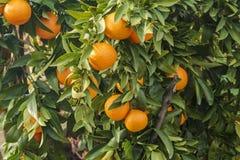 Árbol anaranjado con las naranjas fotografía de archivo libre de regalías