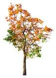 Árbol anaranjado de la flor aislado en el fondo blanco con acortar el PA Imagen de archivo