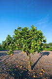 Árbol anaranjado en el Condado de Orange, California Fotografía de archivo
