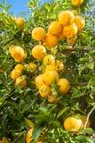 Árbol anaranjado en el jardín Limones y cal Imagenes de archivo
