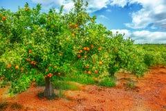 Árbol anaranjado en flor Imagenes de archivo
