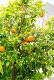 Árbol anaranjado en Sorrento Fotografía de archivo