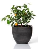 Árbol anaranjado joven con un par de naranjas en un pote gris Imagen de archivo