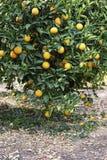 Árbol anaranjado maduro Sobre 30 naranjas Imagen de archivo libre de regalías