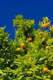 Árbol anaranjado Naranjas que cuelgan el árbol Mandarinas maduras en una ramificación de árbol Fotos de archivo libres de regalías