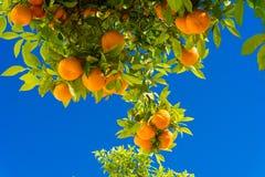 Árbol anaranjado Naranjas que cuelgan el árbol Mandarinas maduras en una ramificación de árbol Fotos de archivo