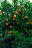 Árbol anaranjado y naranjas imágenes de archivo libres de regalías