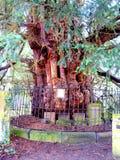Árbol antiguo del tejo en la iglesia de St.Helen, Derbyshire. Foto de archivo