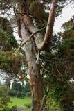 Árbol antiguo en la isla del sao Miguel Imagenes de archivo
