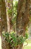 Árbol antiguo en la isla del sao Miguel Foto de archivo libre de regalías