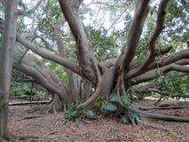 Árbol artístico Cerdeña, Cagliari Rama-raíces foto de archivo