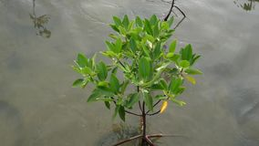 Árbol ascendente cercano de los mangles