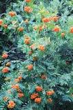 Árbol ashberry grande. Imagen de archivo libre de regalías
