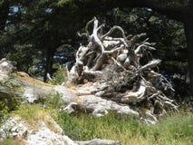 Árbol aterrorizado, bosque de los cedros de dios, Líbano foto de archivo