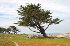 Árbol azotado por el viento Imagen de archivo