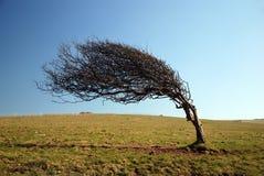 Árbol azotado por el viento Fotos de archivo libres de regalías